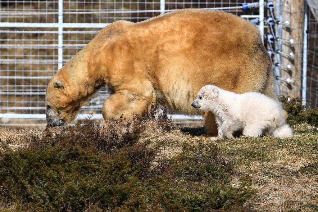 <p>The Highland Wildlife Park female polar bear and her new cub walk around their enclosure in Kingussie, Scotland. The Royal Zoological Society of Scotland announced in January that its female polar bear Victoria gave birth at Highland Wildlife Park to the first cub to be born in the UK for 25 years. (Jeff J Mitchell/Getty Images) </p>