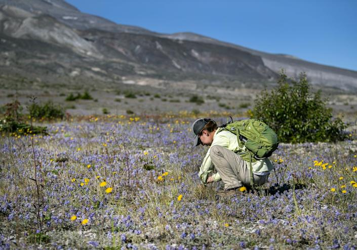 Rebecca Evans, a Washington State University biology graduate student, examines lupine flowers on the Pumice Plain, which plants have recolonized since the 1980 eruption.