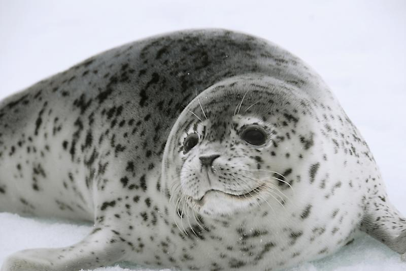 In this May 18, 2007 photo provided by NOAA, a spotted seal rests on sea ice in the Bering Sea. Scientists from Russia and the United States will use high resolution photography and thermal sensors in an ambitious project to count ice seals in the Bering Sea, which the National Oceanic and Atmospheric Administration has recommended for listing as a threatened species due to climate warming. (AP Photo/NOAA, John K. Jansen)