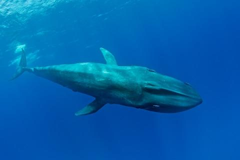 <span>Sri Lanka is the best place on Earth to see blue whales</span> <span>Credit: GETTY </span>