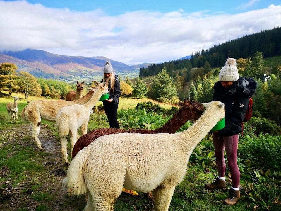 <p>Feed rehomed alpacas and llamas in the Lake District</p> (Alpacaly Ever After, Lake District)