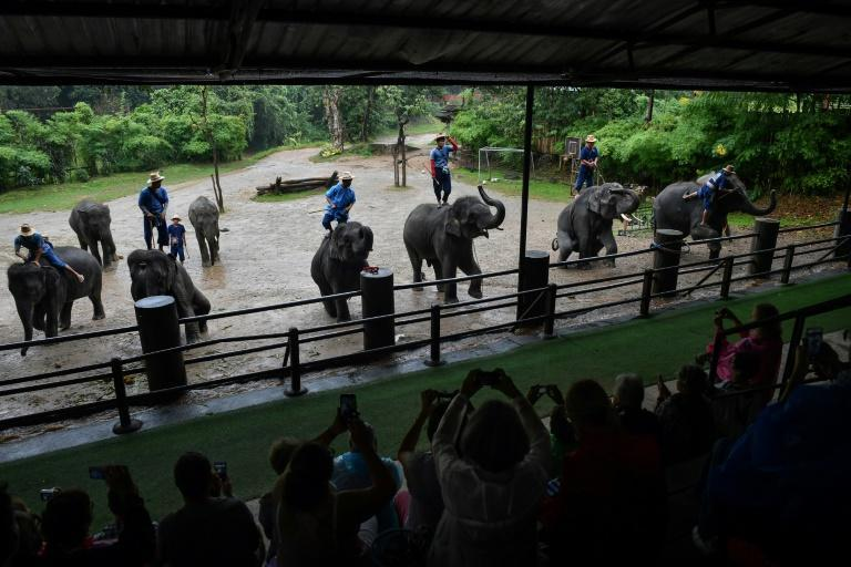 A tamed elephant can now fetch up to $80,000, a colossal investment that then requires gruelling hours of work and increasingly bizarre stunts to be recouped