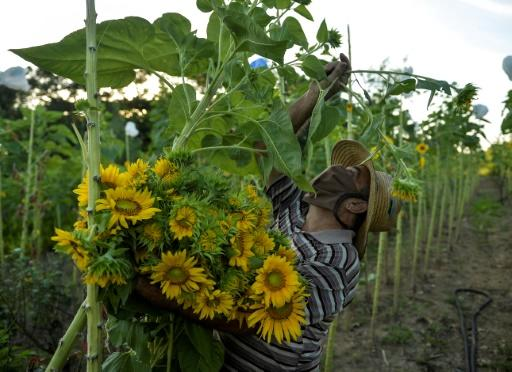 Sergio Ballesteros, 70, who grows sunflowers, says he cannot afford to stop working but he's not afraid of catching the coronavirus