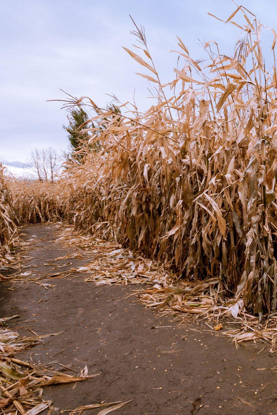 """<p>Beginning in September, the <a href=""""https://newberrycornfieldmaze.com/"""" rel=""""nofollow noopener"""" target=""""_blank"""" data-ylk=""""slk:Newberry Cornfield Maze"""" class=""""link rapid-noclick-resp"""">Newberry Cornfield Maze</a> transforms into a fun spot for families during the day, and a chill-inducing haunted attraction by night. While you're at the Gainesville area cornfield, be sure to take your kids on their scenic hayride, and when the sun sets, head towards their haunted house.</p><p><a class=""""link rapid-noclick-resp"""" href=""""https://go.redirectingat.com?id=74968X1596630&url=https%3A%2F%2Fwww.tripadvisor.com%2FAttractions-g34472-Activities-Newberry_Florida.html&sref=https%3A%2F%2Fwww.countryliving.com%2Flife%2Ftravel%2Fg22717241%2Fcorn-maze-near-me%2F"""" rel=""""nofollow noopener"""" target=""""_blank"""" data-ylk=""""slk:PLAN YOUR TRIP"""">PLAN YOUR TRIP</a></p>"""