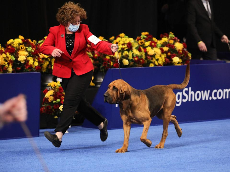 <p>A bloodhound competes in the 2020 National Dog show</p> (Bill McCay/NBC/NBCU Photo Bank via Getty Images)