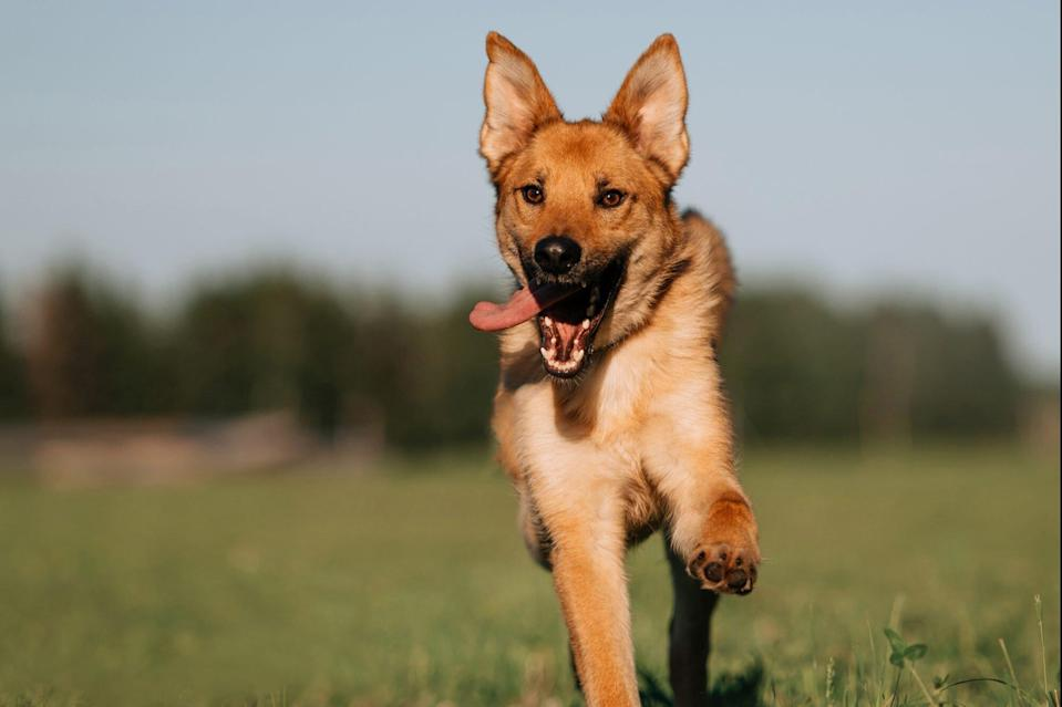 red mixed breed dog running on a field in summer