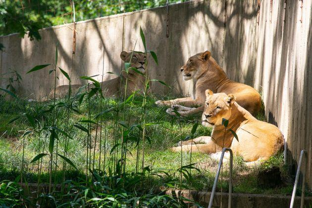 Three lionesses at the National Zoo. (Photo: Smithsonian's National Zoo)