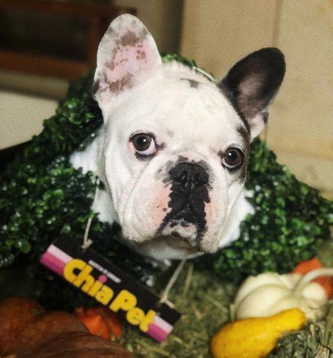 <p>In 2018, Gustav went as a Chia Pet for Halloween.</p>