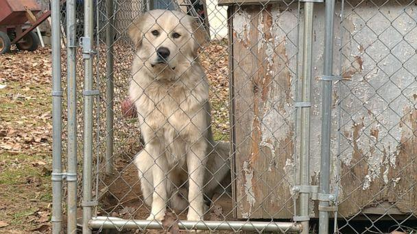 PHOTO: Max, a Great Pyrenees dog from Shady Point, Okla., sits in a cage after he was pictured on a security camera stealing a package off the neighbor's porch in December 2019. (KHOG)