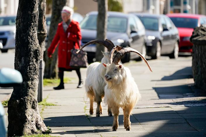 The goats normally live on the rocky Great Orme, but have descended on the town as streets empty of residents and tourists due to quarantine measures. (Photo: Christopher Furlong via Getty Images)