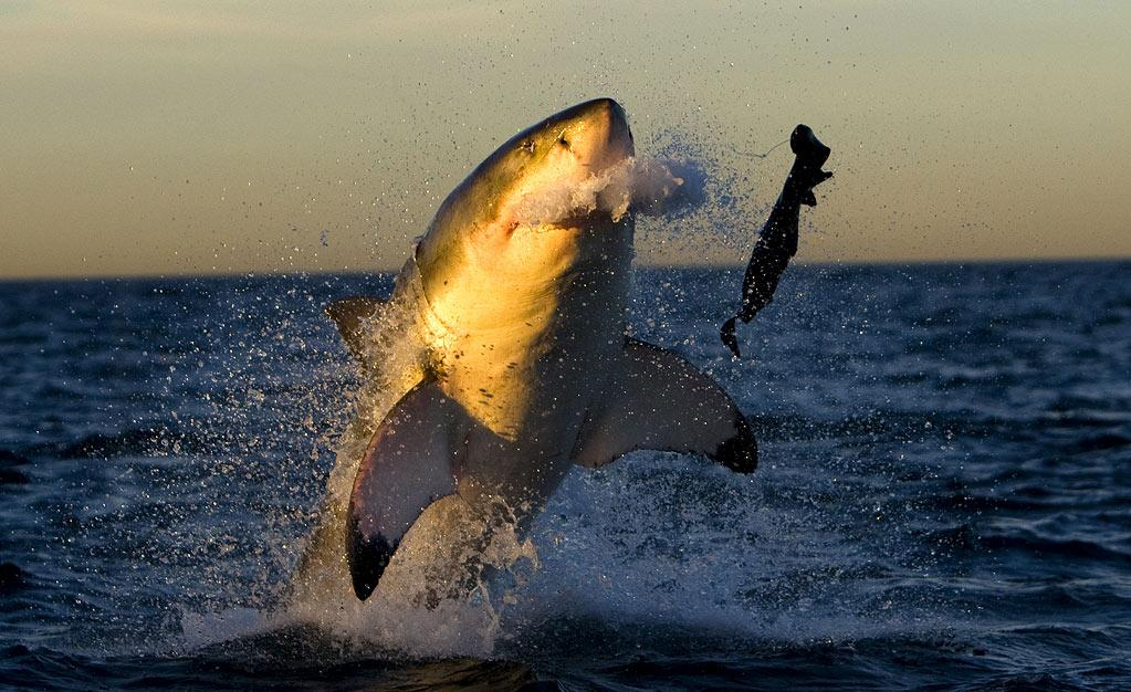 """A great white shark breaches at Seal Island in False Bay, South Africa as seen on """"<a href=""""/ultimate-air-jaws/show/46651"""">Ultimate Air Jaws</a>."""""""