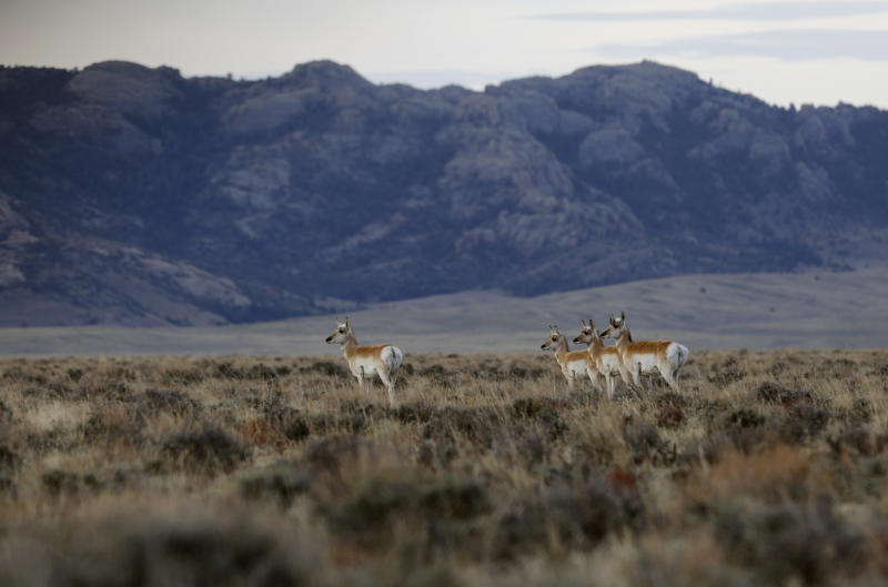 Pronghorn walk through the sage in the early morning in April near Dry Creek in southern Natrona County. Wyoming is the least-populated state in the country, with 585,000 residents. (Alan Rogers/Casper Star-Tribune)
