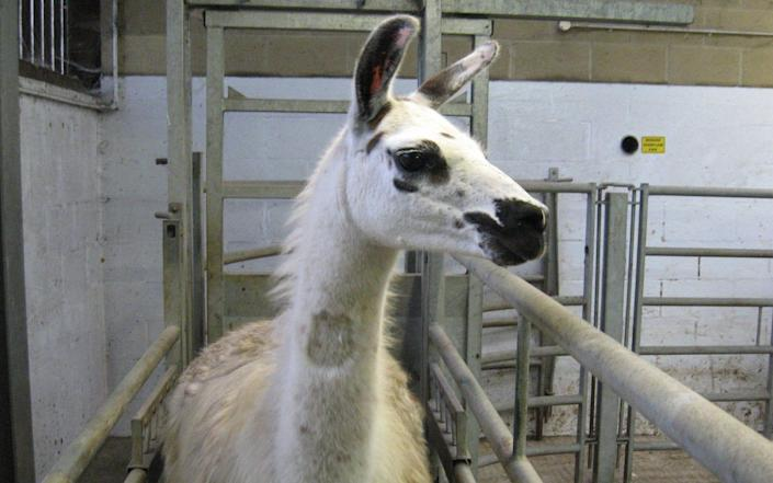As part of the research, Fifi the llama was injected with the coronavirus spike protein, but did not fall ill as its immune system fought off the virus - University of Reading