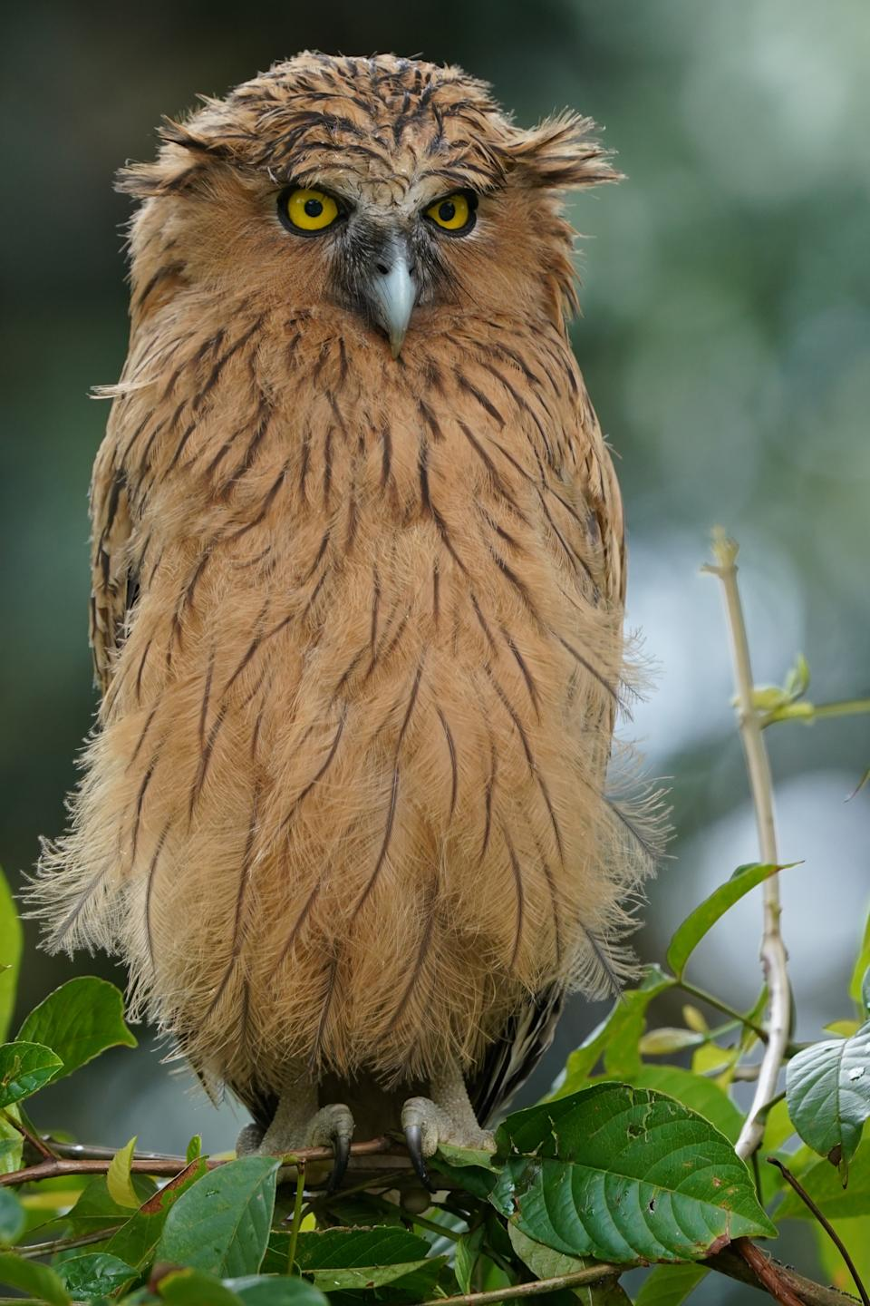 The fledgling buffy fish owl that was stranded. (PHOTO: Alex Low)