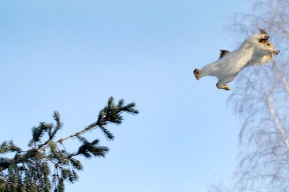 Never mind Superman! Super squirrel shows off flying skills