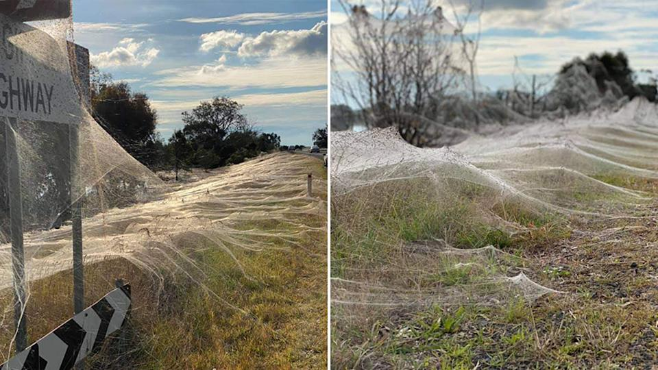 Pictured are spiderwebs, clinging to road signs and trees, in Victoria.