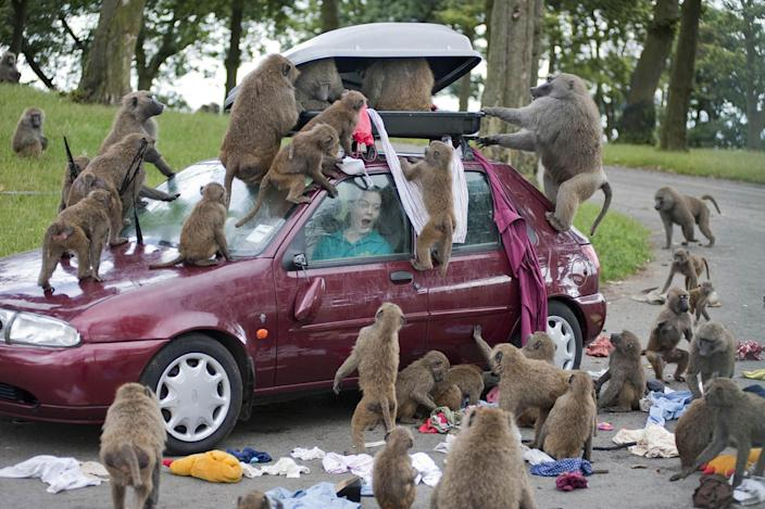 The baboons at Knowsley Safari Park are reportedly being armed with weapons by visitors keen for 'a laugh', the Sunday Times reported. (File picture: PA)