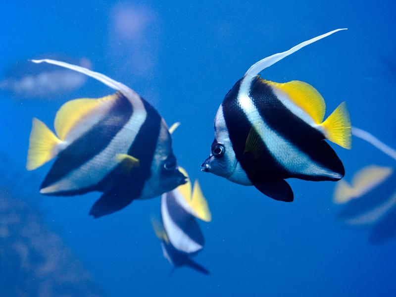 Zebrafish are less scared of danger when they are in a group: Getty