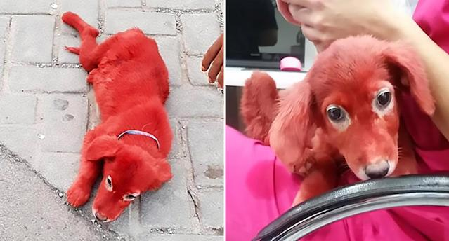 The dog was rescued by animal activists after being found on the streets of Schimatari in Greece (CEN)