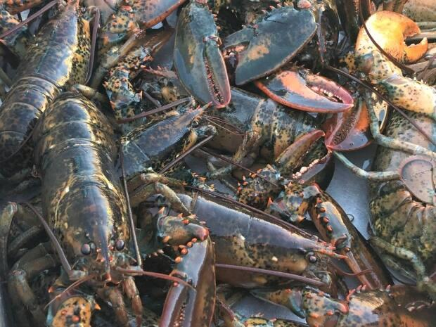 The men said they landed 2,560 lobsters, which were seized by Fisheries officers and returned to the water.  (Kayla Hounsell/CBC - image credit)