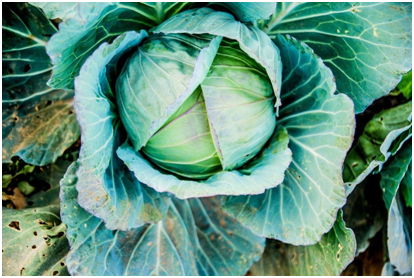 <p>Everyone knows about the benefits of eating green vegetables, and lettuce is one of them. But even that can give you food poisoning if you reheat a cooked and buttered version of it. This happens due to excess amount of nitrates present in it. </p>