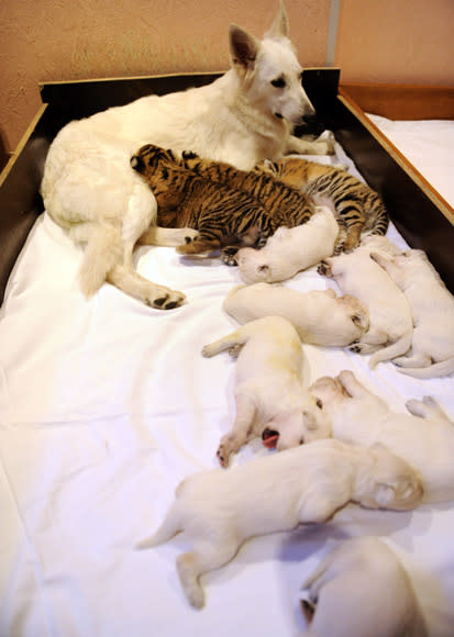 Swiss Shepherd dog, Talli, feeds orphaned tiger cubs and her own cubs in the Russian Black Sea resort of Sochi, on December 4, 2012. The little tigers, two male cubs, named Olymp and Dar and one female cub Talli, named after the adoptive mother, were born last month in the Oktyabrsky Zoo in Sochi but abandoned by their birth mother, tigress Bagira. AFP PHOTO / MIKHAIL MORDASOV AFP PHOTO / MIKHAIL MORDASOV