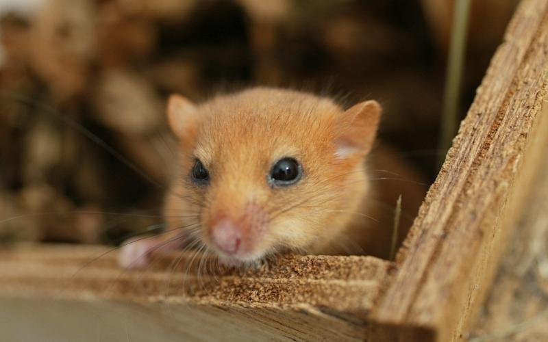 Hazel dormice are an EU protected species -  Thames Water/PTES/PA Wire