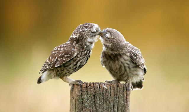 <p>Kissing owls in Berkshire, England. (Photo: Mark Bridger/Caters News) </p>