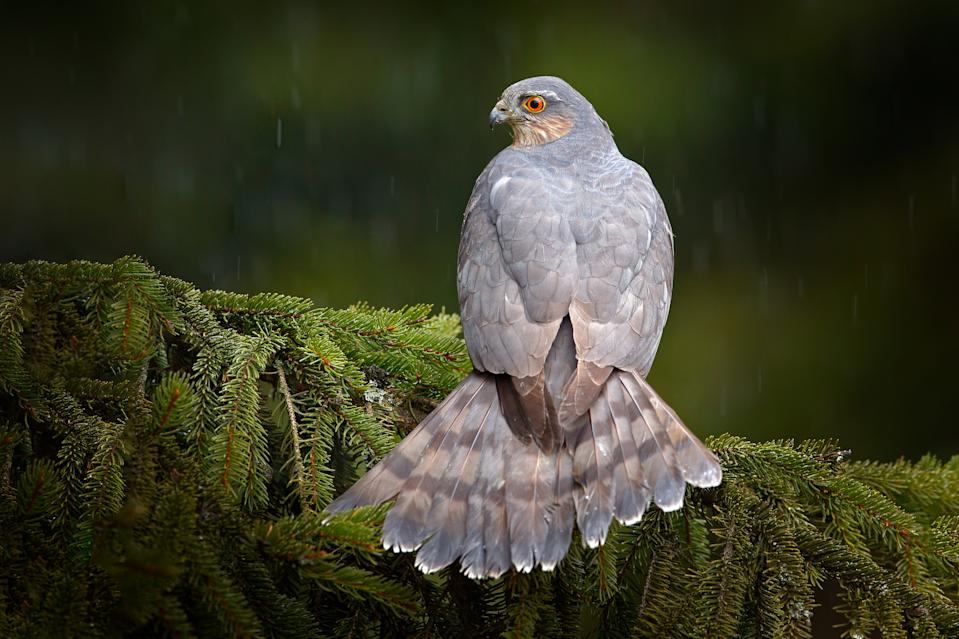 Bird of prey Eurasian sparrowhawk, Accipiter nisus, sitting on spruce tree during heavy rain in the forest. Bird in the green habitat. Sparrowhawk in the rainy wood in the nature, Germany, Europe wildlife.