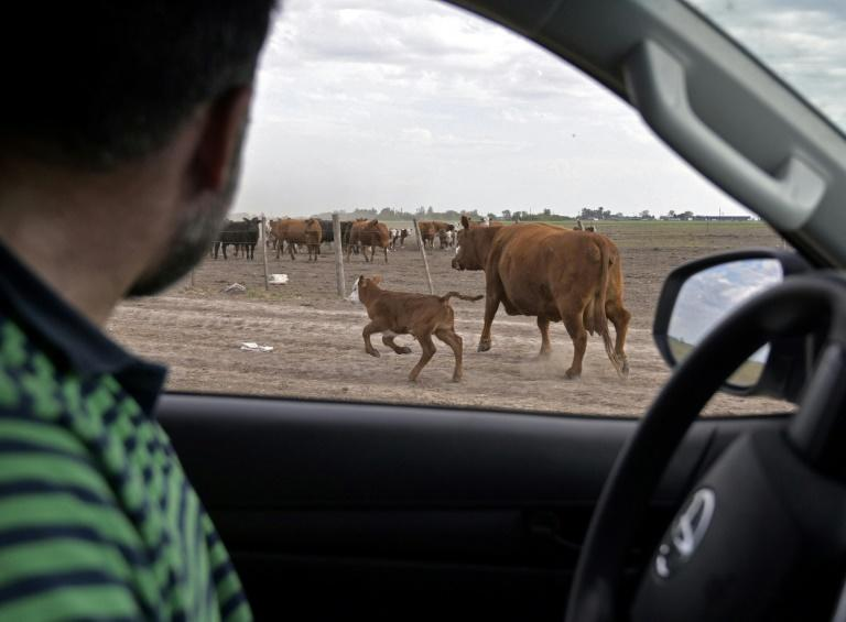 Farmer Daniel Perez drives cattle to a corral at his farm near Ramallo, on October 9