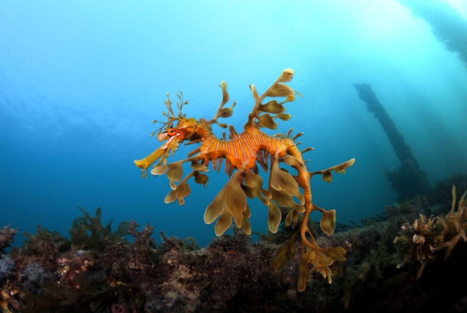 """<p>A leafy sea dragon swims near the shallow sea bottom off the coast of South Australia. They have <a href=""""https://www.scld.org/5-cool-facts-about-leafy-sea-dragons/"""" rel=""""nofollow noopener"""" target=""""_blank"""" data-ylk=""""slk:no known predators"""" class=""""link rapid-noclick-resp"""">no known predators</a>, as their leafy camouflage makes them an undesirable meal. </p>"""