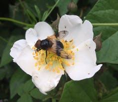 """<span class=""""caption"""">A drone fly pollinating a dog rose.</span> <span class=""""attribution""""><span class=""""source"""">P. Donkersley</span></span>"""