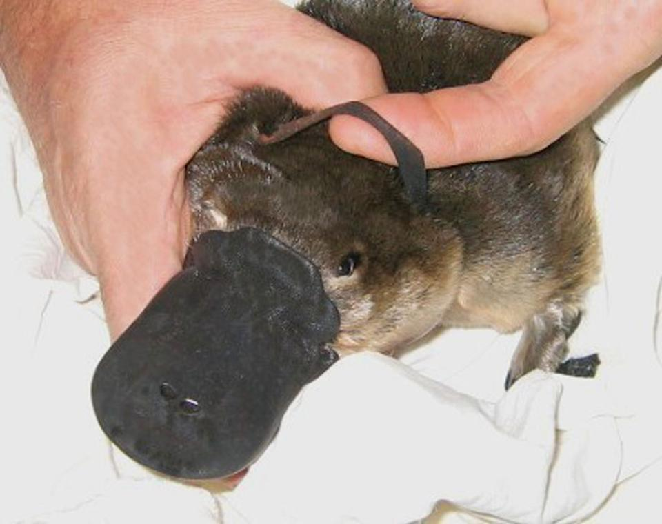 By disposing of rubbish responsibly and cutting plastic rings, people can reduce the risk of platypuses getting entangled. Source:  Australian Platypus Conservancy