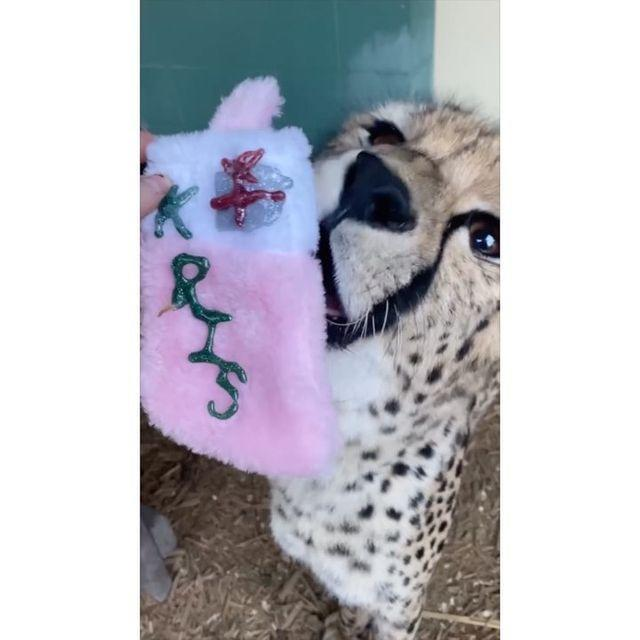"""<p>The Cincinnati Zoo stuffed some stockings for some very curious animals — and our Christmas wish is for even more videos of them being """"opened.""""</p>"""