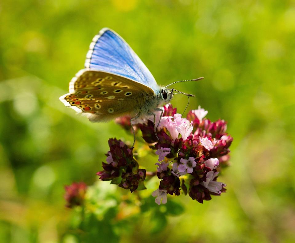 Adonis Blue Butterfly (Daniel Greenwood/South Downs National Park Authority/PA)
