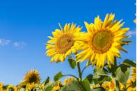 """<p>A whopping 4,318 acres of conservation lands boast stunning views of the meeting place between the Missouri and Mississippi Rivers—and the fields full of sunflowers are just the icing on the cake.</p><p><a class=""""link rapid-noclick-resp"""" href=""""https://go.redirectingat.com?id=74968X1596630&url=https%3A%2F%2Fwww.tripadvisor.com%2FTourism-g44881-Saint_Louis_Missouri-Vacations.html&sref=https%3A%2F%2Fwww.countryliving.com%2Flife%2Ftravel%2Fg21937858%2Fsunflower-fields-near-me%2F"""" rel=""""nofollow noopener"""" target=""""_blank"""" data-ylk=""""slk:PLAN YOUR TRIP"""">PLAN YOUR TRIP</a></p>"""
