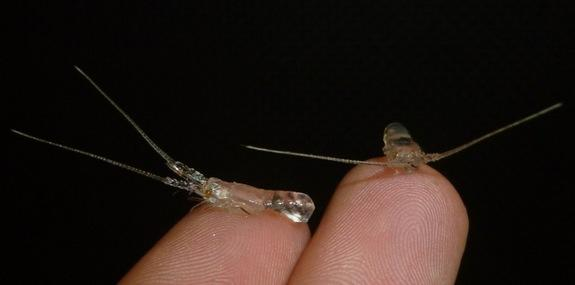 Tiny, Transparent Lobsters Stick Close to Home