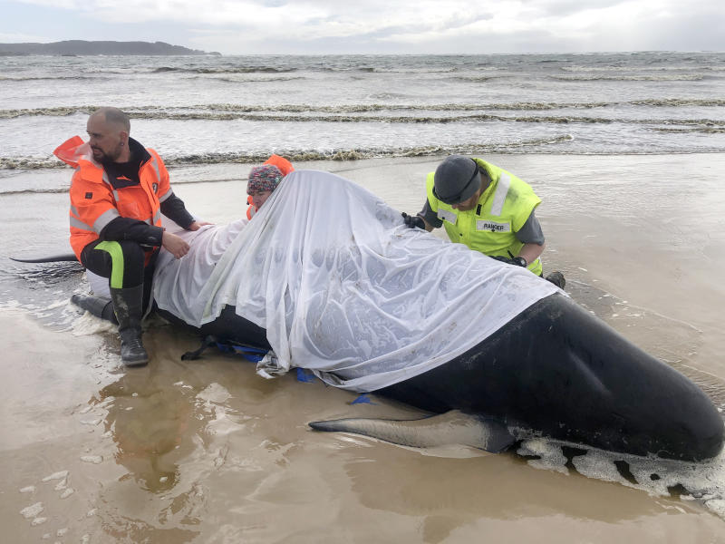 Around 380 of some 460 stranded whales were confirmed dead on Wednesday. Source: Tasmania Police