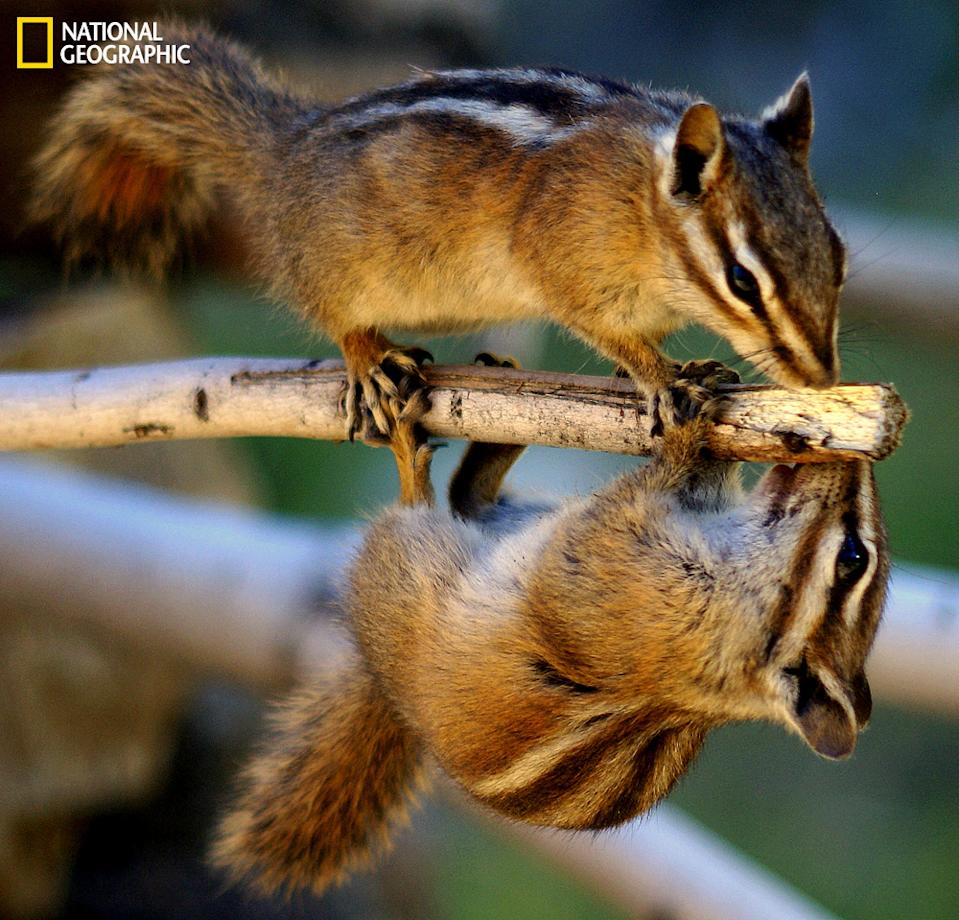 "A couple of Colorado Rocky Mountain chipmunks out on a limb enjoying life. (Photo and caption Courtesy Betsy Seeton / National Geographic Your Shot) <br> <br> <a href=""http://ngm.nationalgeographic.com/your-shot/weekly-wrapper"" rel=""nofollow noopener"" target=""_blank"" data-ylk=""slk:Click here"" class=""link rapid-noclick-resp"">Click here</a> for more photos from National Geographic Your Shot."