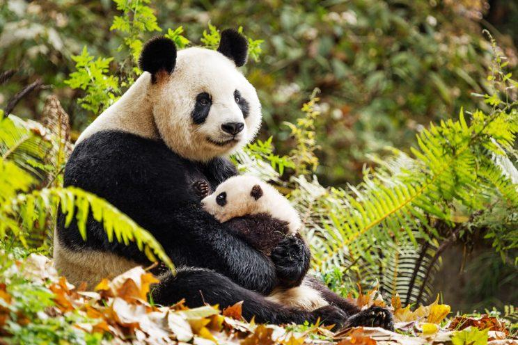 A panda and her cub in