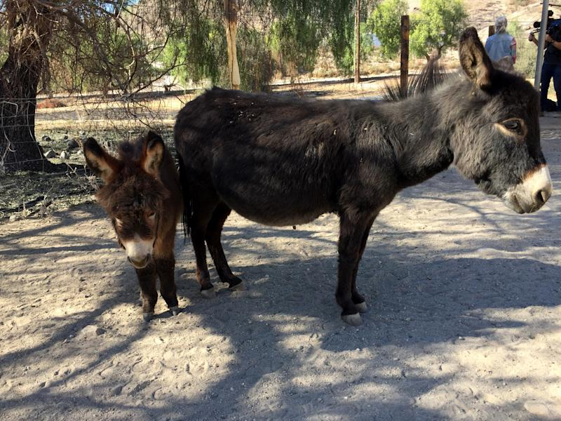 Two miniature donkeys