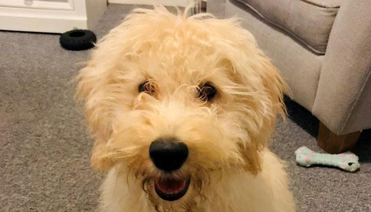 Six-month-old Waffle was stolen from its owner while out on a morning walk in Cornwall. (Devon and Cornwall police/ SWNS)