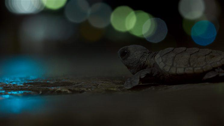 Hawksbill sea turtle hatchlings, disoriented by city lights, make their way into beachside towns