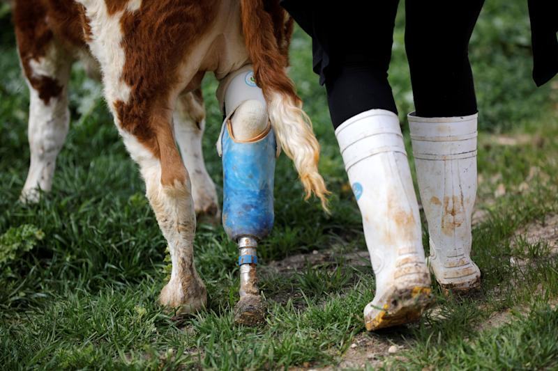 """A volunteer walks with Nir, a cow with prosthetic leg at """"Freedom Farm"""" which serves as a refuge for mostly disabled animals in Moshav Olesh, Israel. (Photo: Nir Elias/Reuters)"""