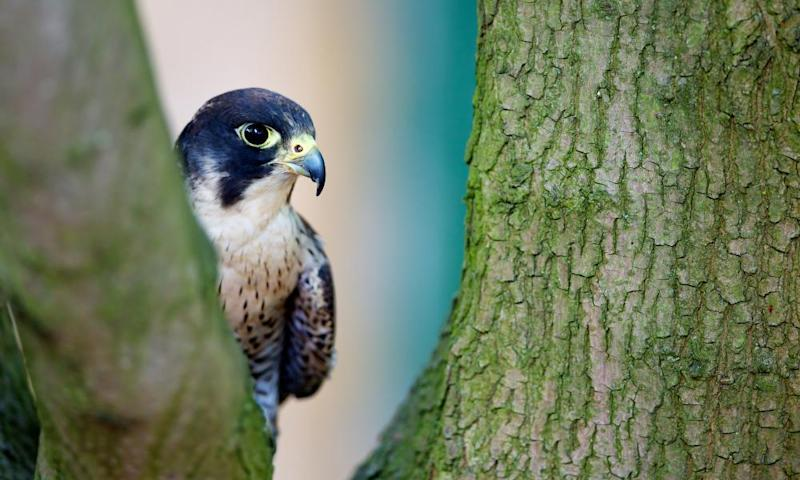A peregrine falcon in a tree