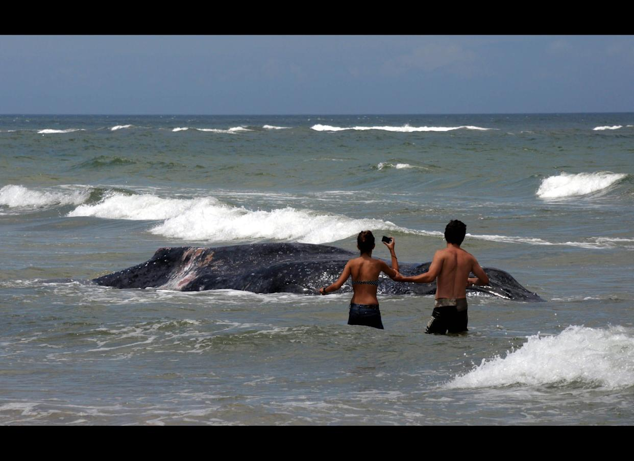 An 8.5 metre-long juvenile humpback whale remains stranded on Anaconda beach in La Paloma, department of Rocha, in southeastern Uruguay, on January 27, 2011. AFP