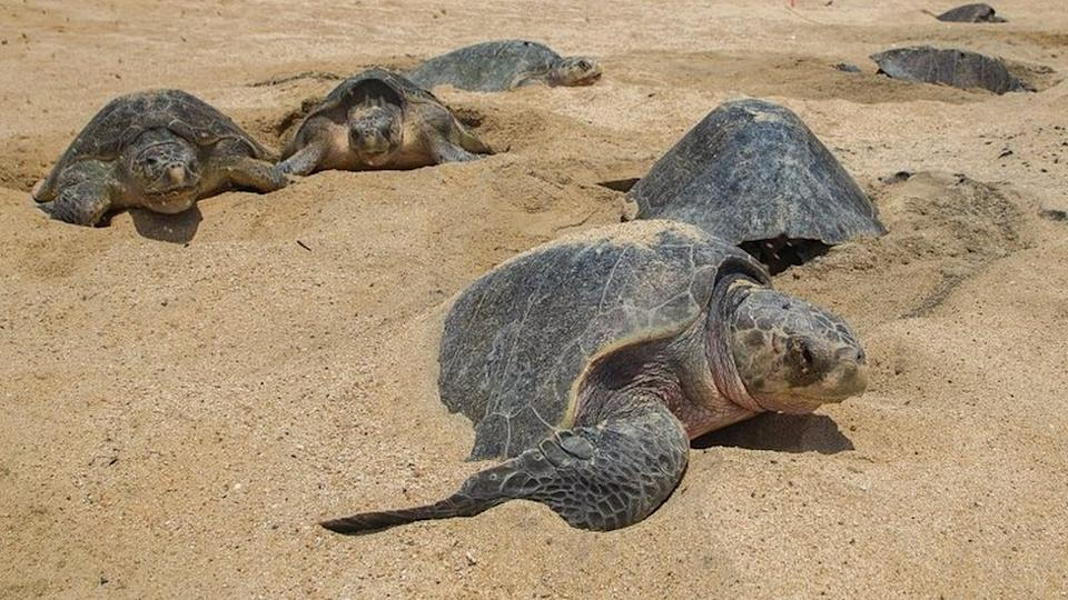 Olive Ridley sea turtles make nests to lay their eggs at Ixtapilla Beach in Mexico. File photo