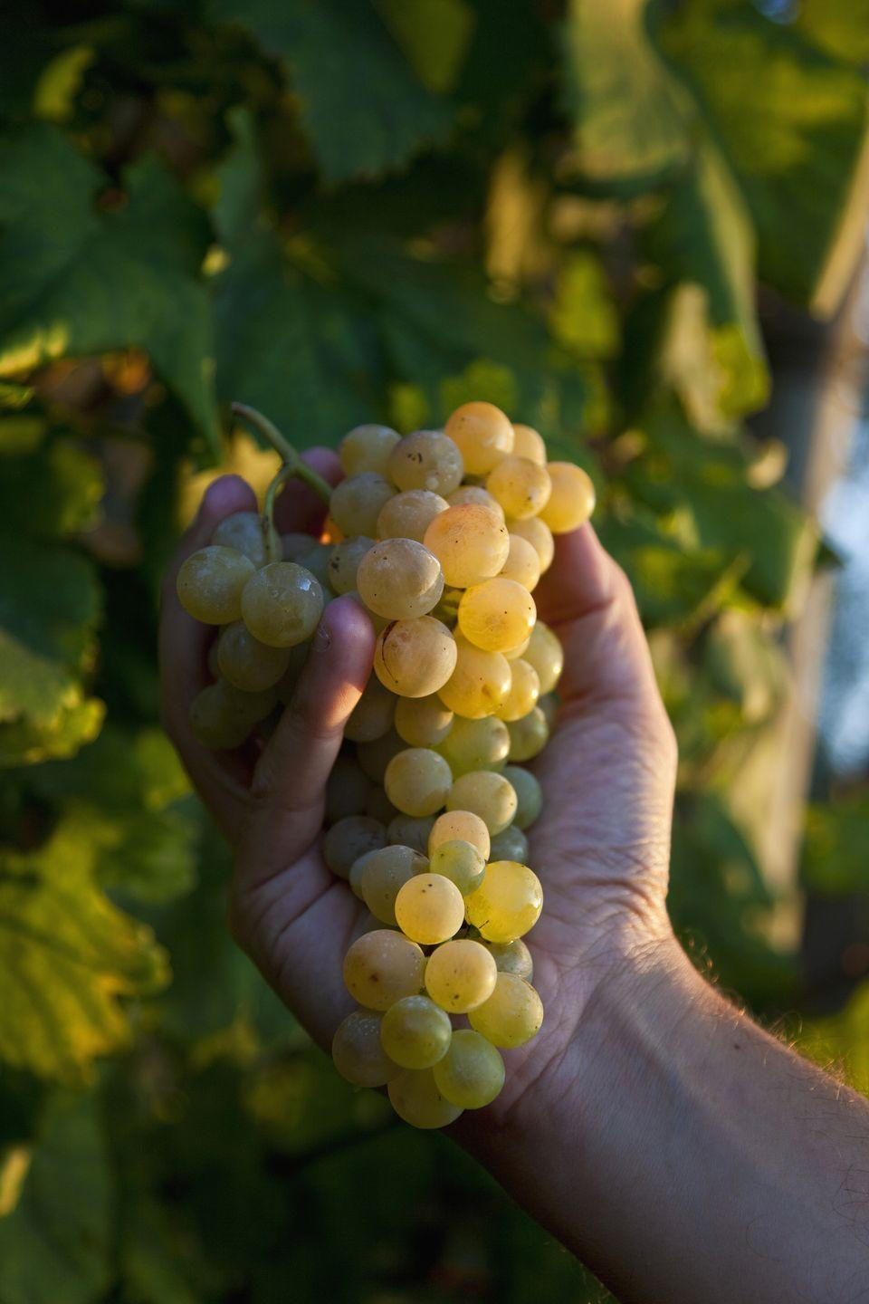 "<p>Before the clock strikes midnight on Dec. 31, people in Spain and Spanish-speaking countries around the world partake in a tradition called <em>las doce uvas de la suerte</em>, the 12 lucky grapes. The goal is to eat all 12 before midnight, if you want to have good luck in <a href=""https://www.npr.org/sections/thesalt/2012/12/26/168092673/green-grapes-and-red-underwear-a-spanish-new-years-eve"" rel=""nofollow noopener"" target=""_blank"" data-ylk=""slk:the new year"" class=""link rapid-noclick-resp"">the new year</a>, according to NPR. </p><p><strong>Recipes: </strong></p><p><em><a href=""https://www.womansday.com/food-recipes/food-drinks/a28797240/grape-jamwiches-recipe/"" rel=""nofollow noopener"" target=""_blank"" data-ylk=""slk:Grape Jamwiches"" class=""link rapid-noclick-resp"">Grape Jamwiches</a></em></p><p><em><a href=""https://www.womansday.com/food-recipes/food-drinks/recipes/a17225/green-pea-soup-grape-salsa-3462/"" rel=""nofollow noopener"" target=""_blank"" data-ylk=""slk:Fresh Green Pea Soup with Grape Salsa"" class=""link rapid-noclick-resp"">Fresh Green Pea Soup with Grape Salsa</a></em></p><p><em><a href=""https://www.womansday.com/food-recipes/food-drinks/recipes/a16497/grape-ginger-tart-2807/"" rel=""nofollow noopener"" target=""_blank"" data-ylk=""slk:Grape and Ginger Tart"" class=""link rapid-noclick-resp"">Grape and Ginger Tart</a></em></p><p><em><a href=""https://www.womansday.com/food-recipes/food-drinks/recipes/a37272/hazelnut-grapes-recipe-clv0911/"" rel=""nofollow noopener"" target=""_blank"" data-ylk=""slk:Hazelnut-Crusted Grapes"" class=""link rapid-noclick-resp"">Hazelnut-Crusted Grapes</a></em></p><p><em><a href=""https://www.womansday.com/food-recipes/food-drinks/recipes/a21094/grilled-grapes-ghk/"" rel=""nofollow noopener"" target=""_blank"" data-ylk=""slk:Grilled Grapes"" class=""link rapid-noclick-resp"">Grilled Grapes</a><br></em></p>"