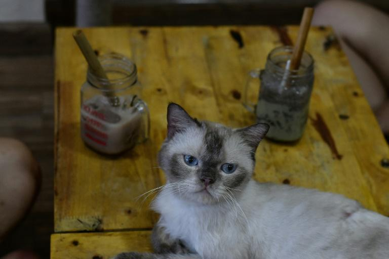 British shorthair Chien at Ngao's Home Cafe. Cafe owner Nguyen Thanh Binh hopes some customers will be tempted to give the rescued felines a home