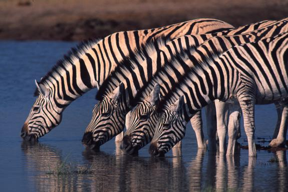 Zebras Tracked Migrating 300 Miles, a Record African Transit